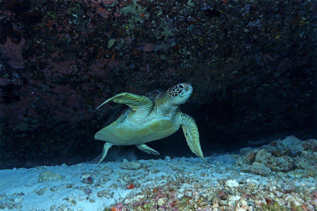 綠蠵龜。 圖/漁業署提供