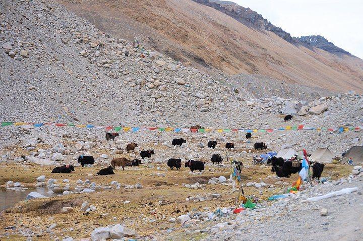 大本營旁很多看似有人飼養的氂牛(@Tibet)。 圖/背包客棧