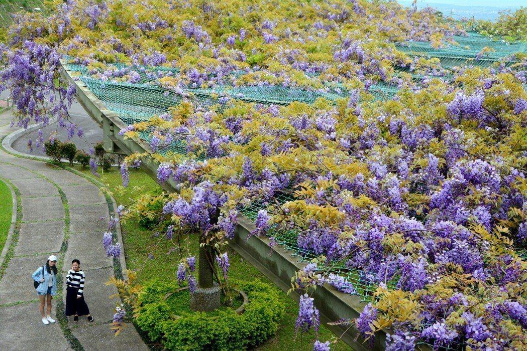 佛光大學上個月紫藤花開得非常美,吸引很多遊客到校園參觀。 圖/佛光大學提供