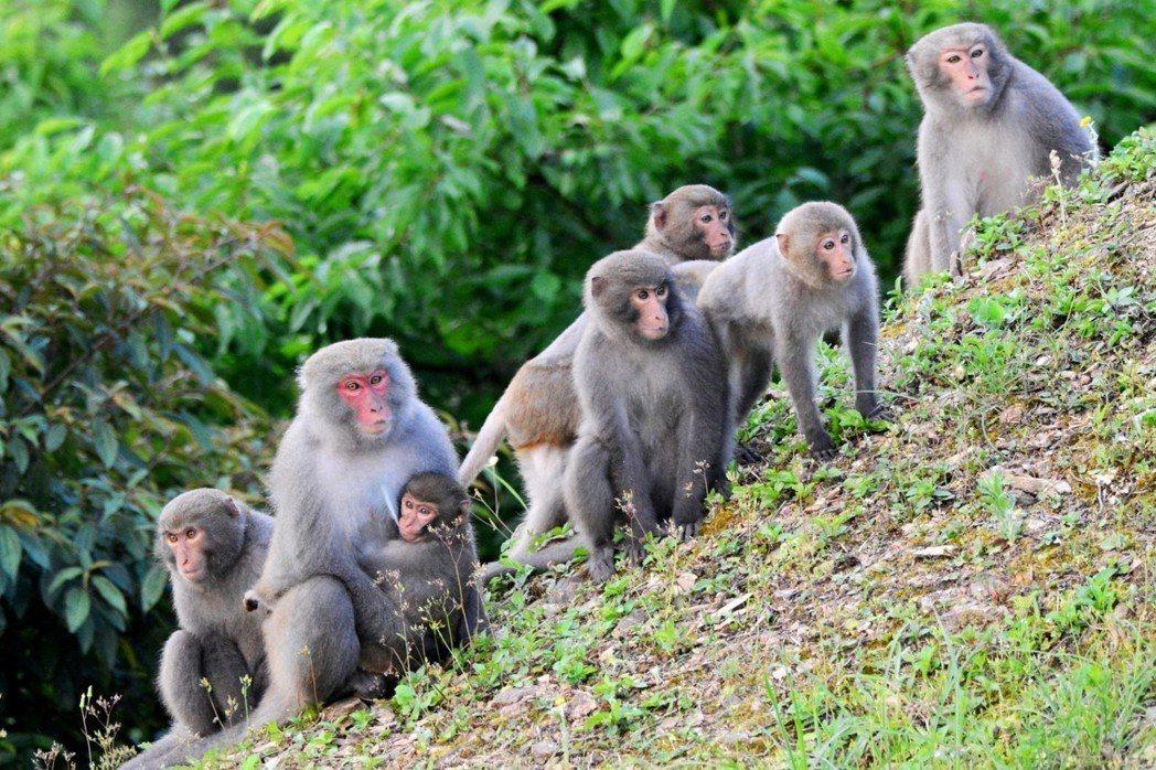 佛光大學的動植物生態豐富,吸引猴群前來嬉戲。 圖/佛光大學提供