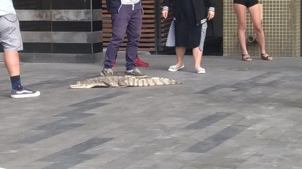 網紅鱷魚妹妹正在面試。圖/讀者提供