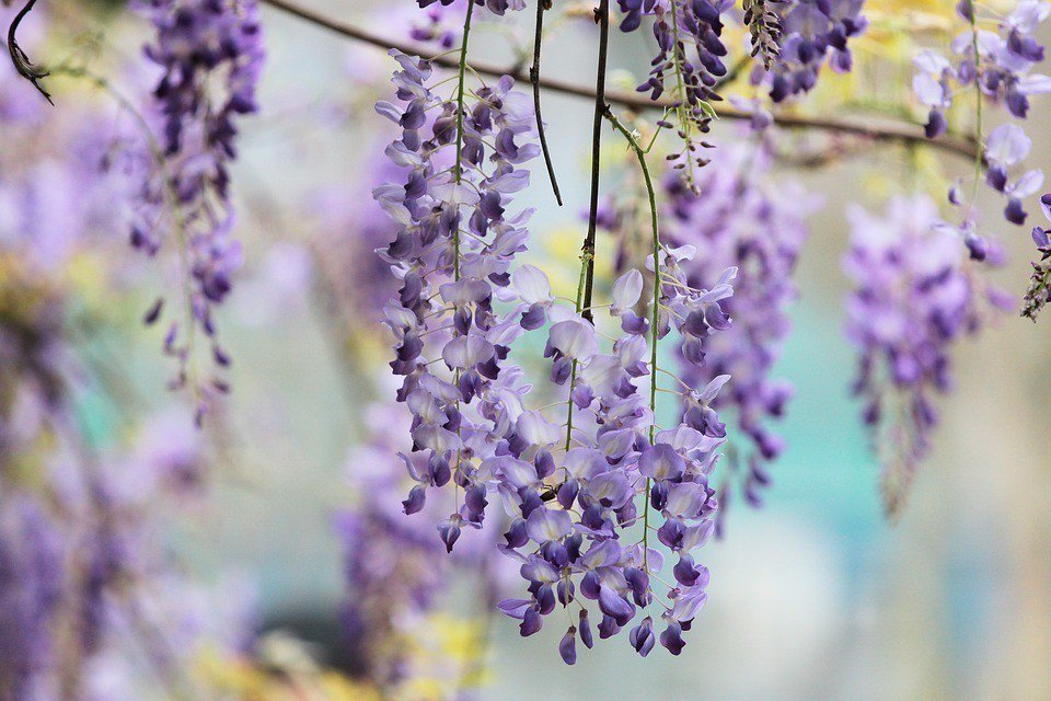 日本紫藤花 google