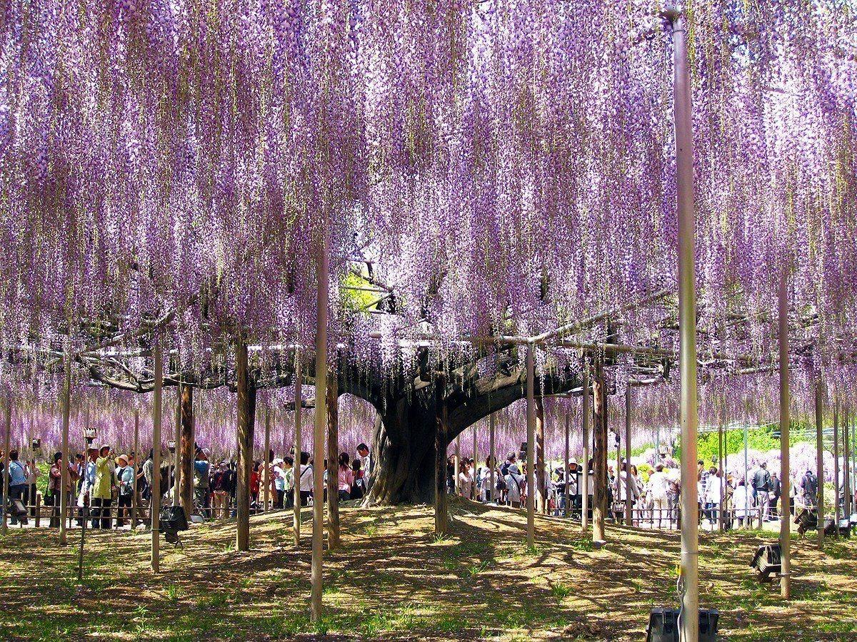 足利花卉公園 維基百科