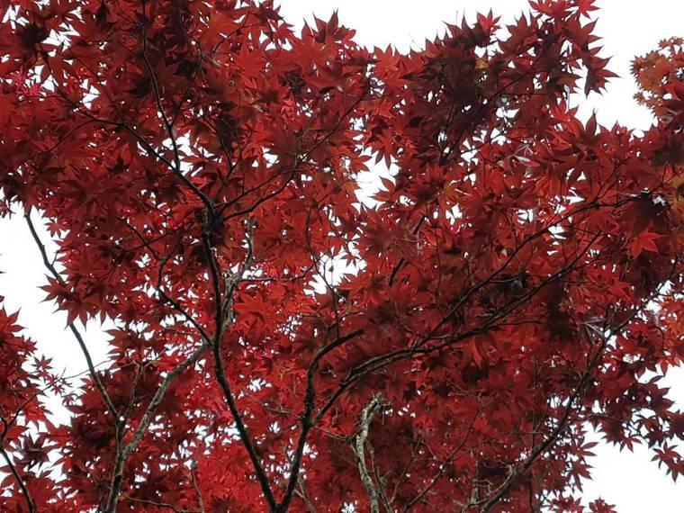 太平山莊中央階梯近期紫葉槭盛放。圖/羅東林管處提供