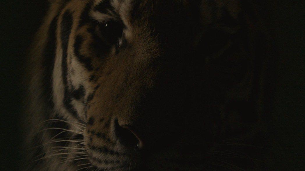 導演薩歐妲.伊思麥洛瓦的《虎之輓歌》以滅絕的圖蘭虎為主角,有時是忽隱忽現的老虎局...