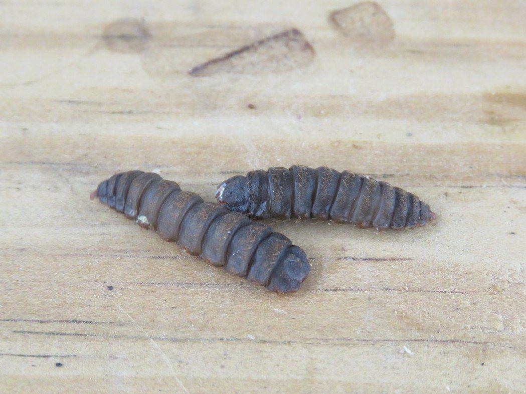 黑水虻幼蟲。圖/邑米社區大學提供
