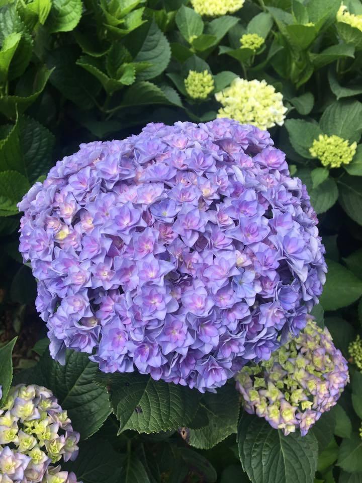陽明山繡球花季節已開跑,目前開花已達到3至4成。圖/翻攝自高家繡球花田粉絲團