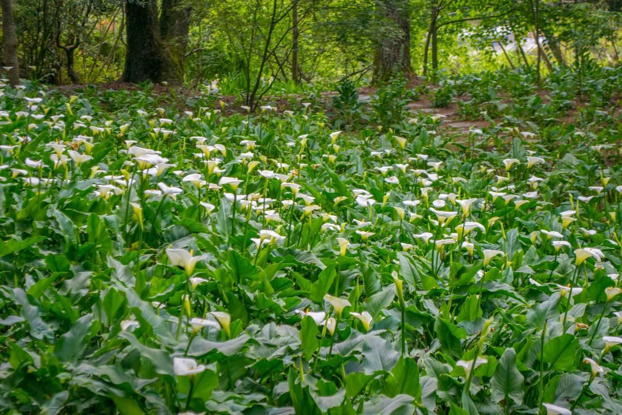 福壽山農場海芋花季長達8個月。圖/翻攝自福壽山農場粉絲團