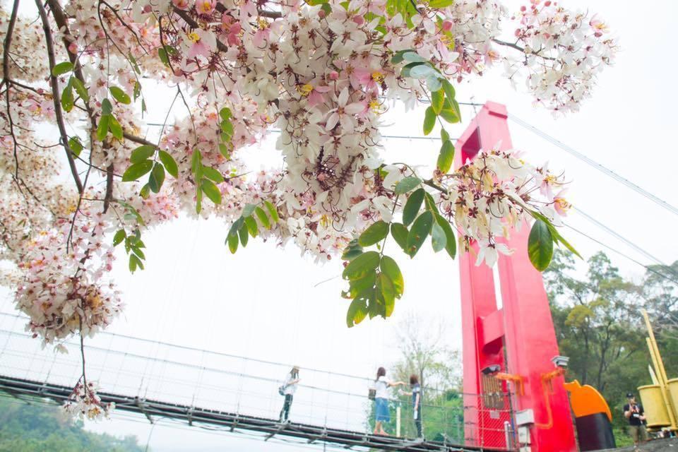 泰國櫻花開花時掛滿整樹粉紅花朵。圖/翻攝自吳芳銘臉書