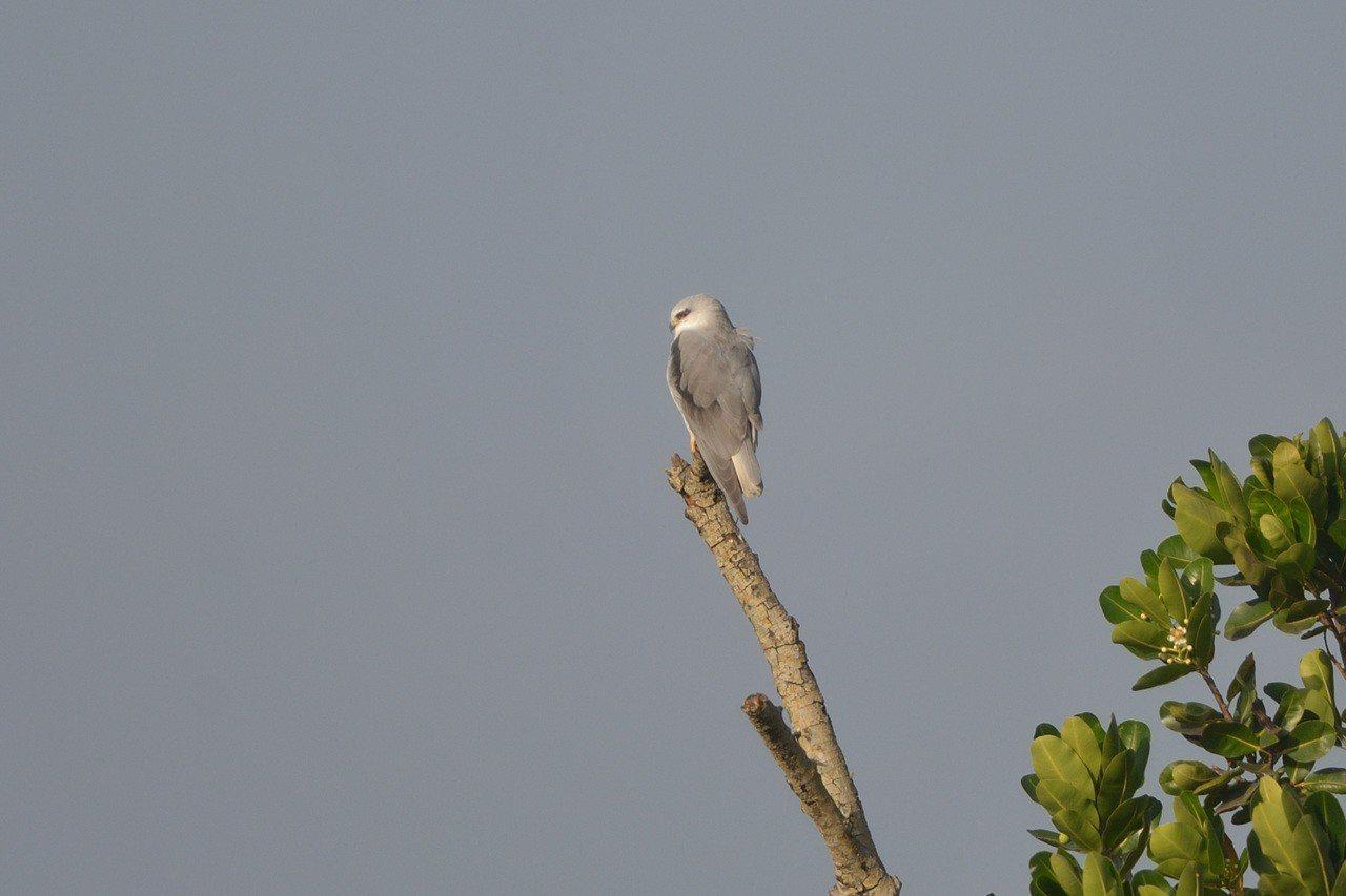 型農蕭旦倫田裡保留的獨立木發現的「黑翅鳶」。圖/高雄市農業局提供
