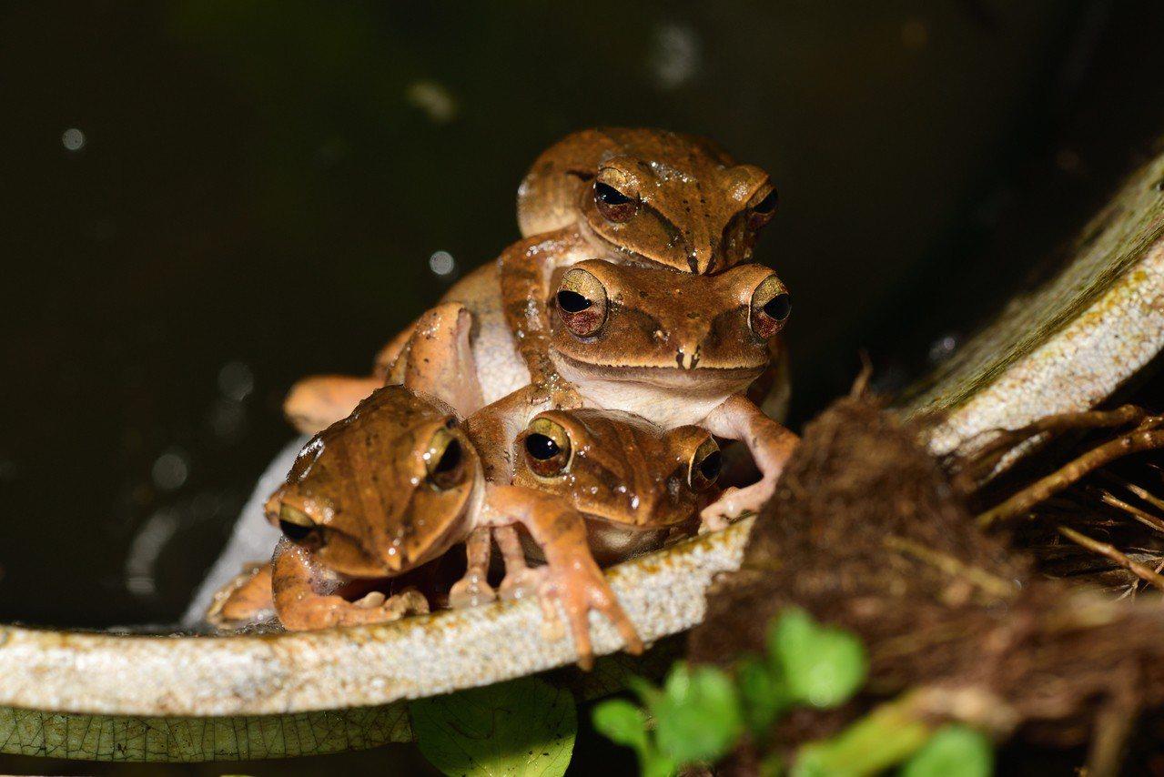 「凹下茶園」長期造林,融合茶園與森林,發現多隻雄性布氏樹蛙爭奪母蛙