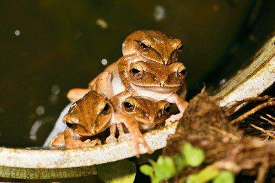 「凹下茶園」長期造林,融合茶園與森林,發現多隻雄性布氏樹蛙爭奪母蛙。 圖/高雄市...