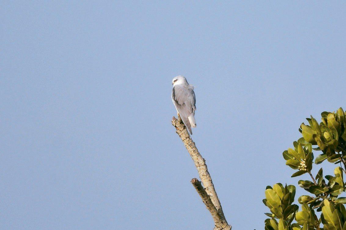 在農民蕭旦倫田裡保留的獨立木發現的「黑翅鳶」。 圖/高雄市農業局提供