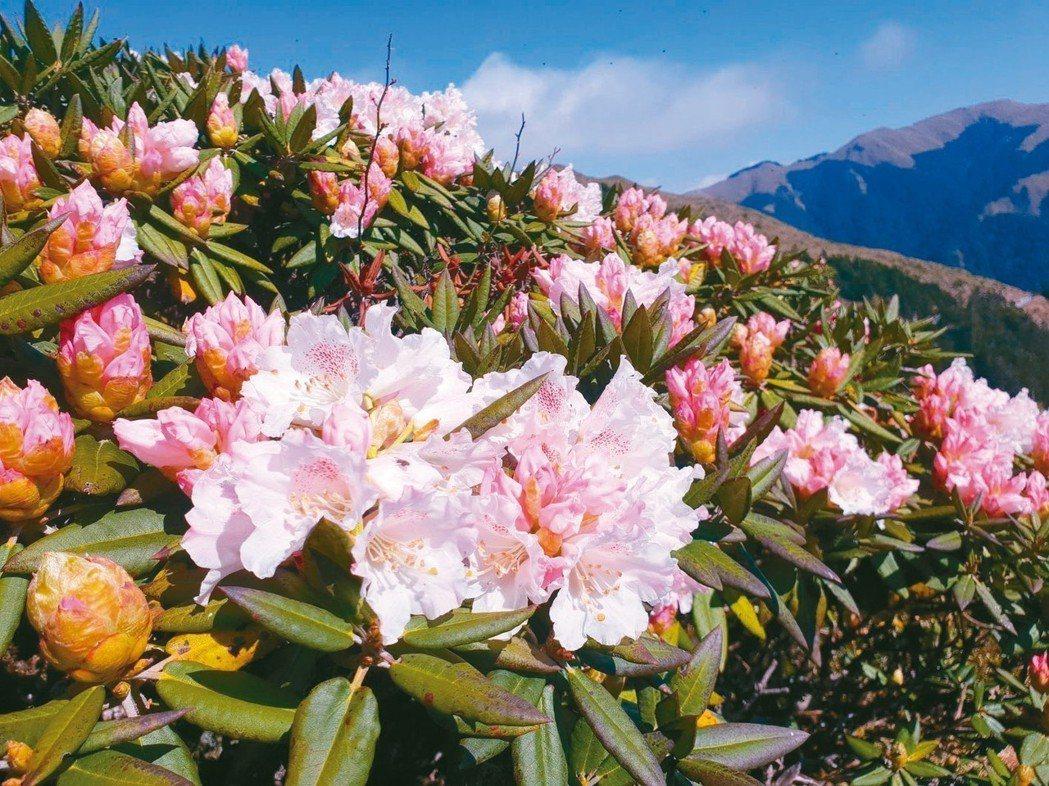 太魯閣國家公園境內的合歡山區,玉山杜鵑已經盛開。 圖/翻攝太管處臉書粉絲頁