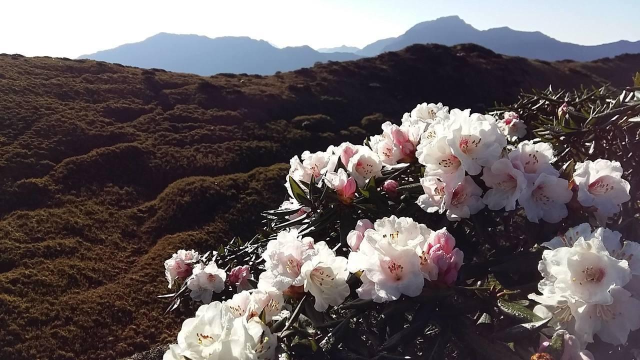 位在太魯閣國家公園境內的合歡山區,玉山杜鵑已經盛開。圖/翻攝太管處臉書粉絲頁