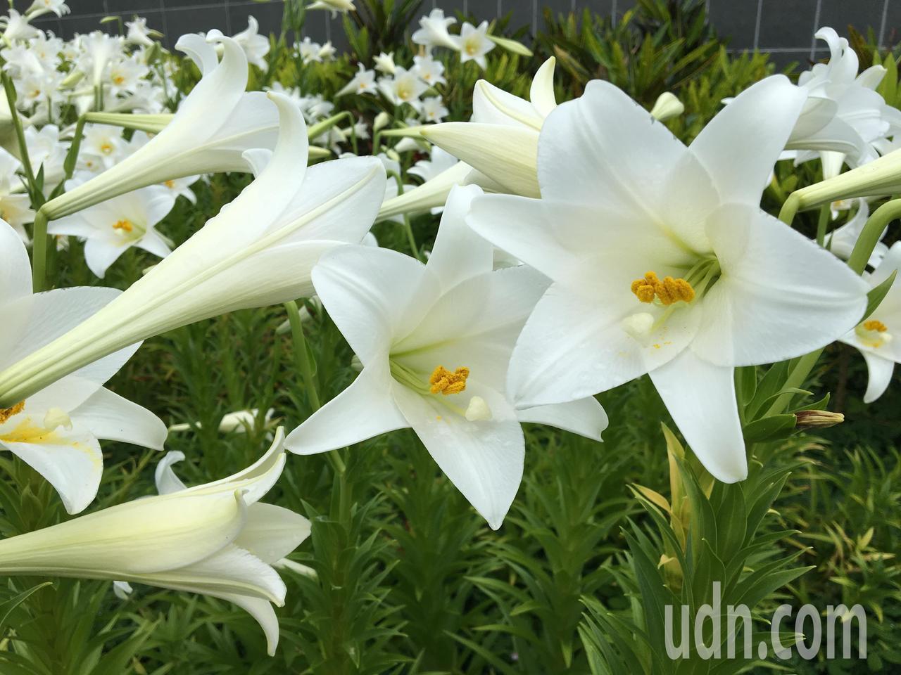 花蓮縣瑞穗鄉秀姑巒溪遊客中心周圍種植上千株鐵炮百合,目前進入花季,一片白色花朵隨...