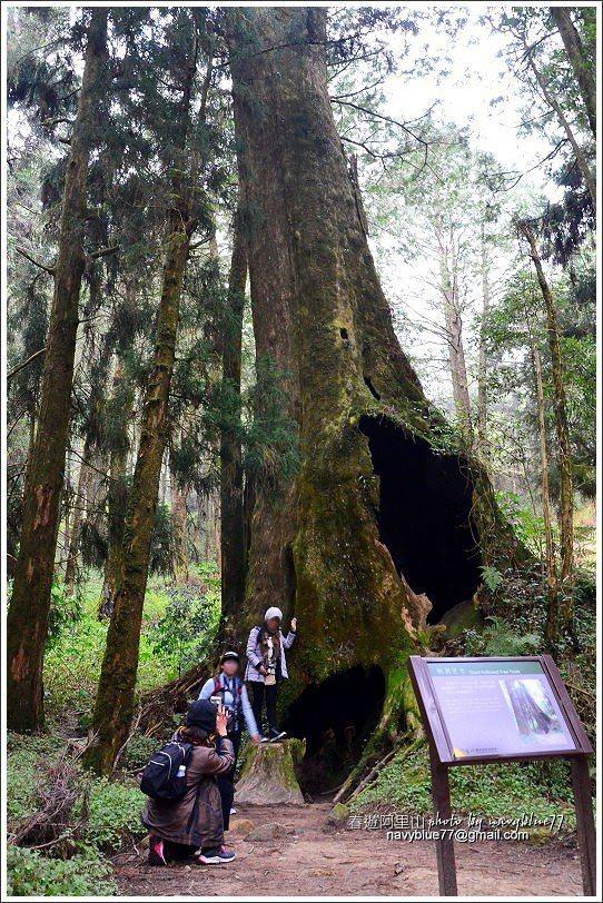 ↑中途的樹洞巨木,紅檜底部有一個3公尺見方的大樹洞。