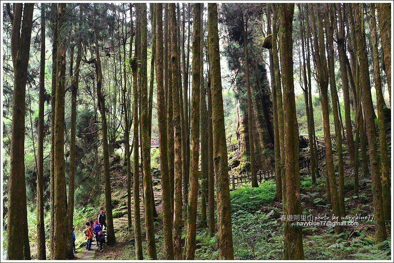 ↑過木棧橋後往右上石階,約200公尺即可抵達水山巨木。