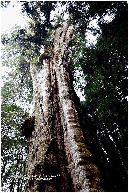 ↑水山巨木胸圍16公尺,樹高30公尺,是阿里山地區最大的巨木。