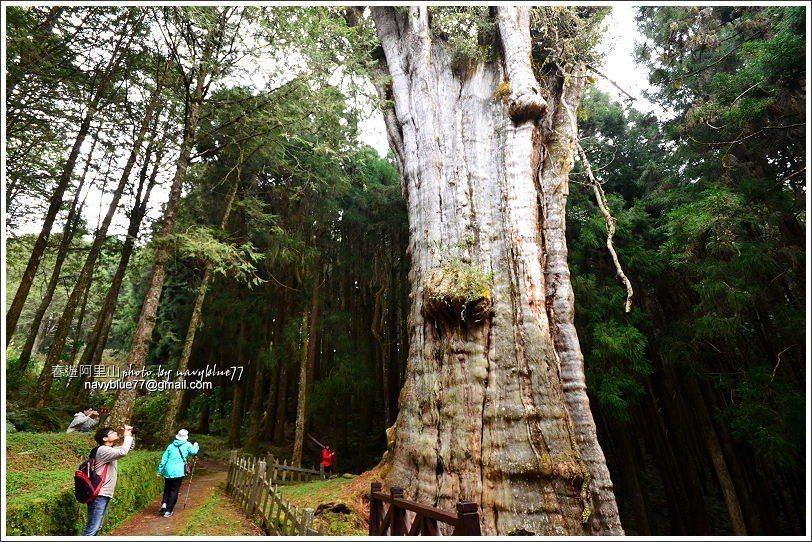 ↑水山巨木樹齡2700年,也是阿里山地區最古老的巨木。