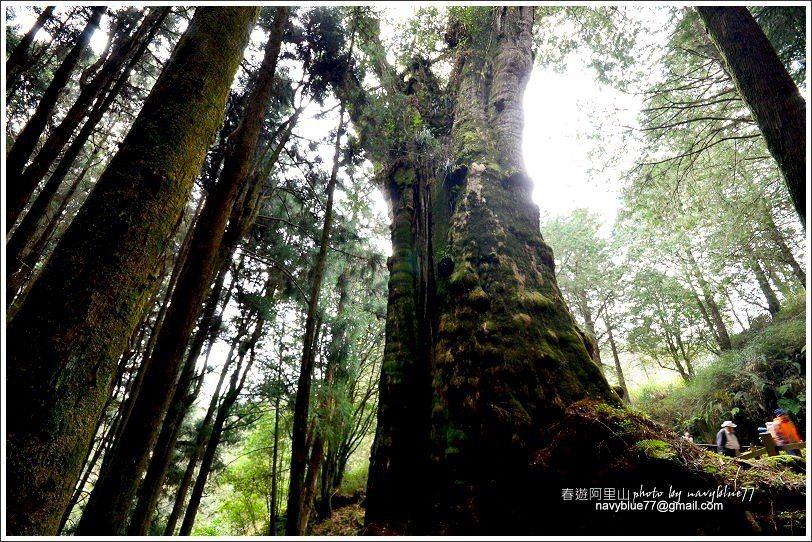 ↑由水山巨木四周仰望,不同角度的巨木姿態也不大相同。