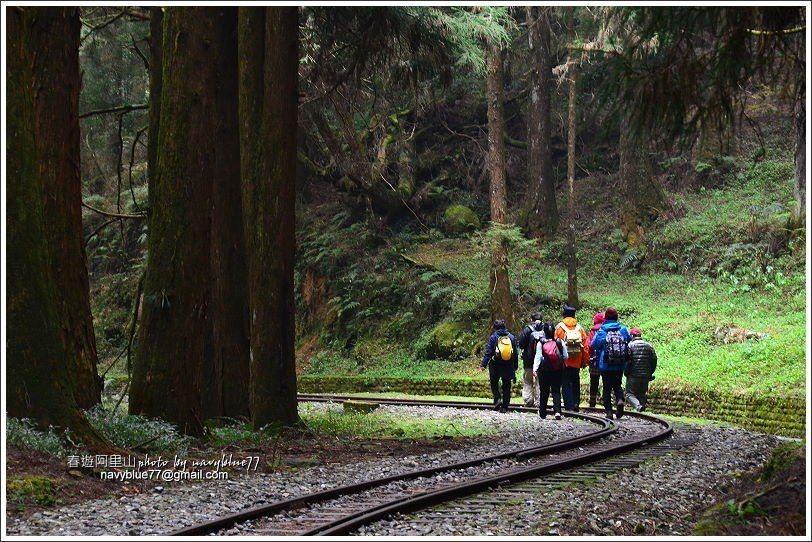 ↑循原路返回阿里山,再次回味這片蓊鬱的森林與平緩的鐵道。