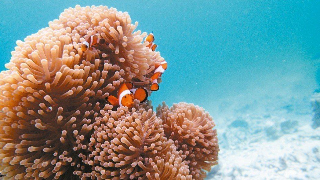 這裡有許多「尼莫」小丑魚及海葵生態。 記者魏妤庭/攝影