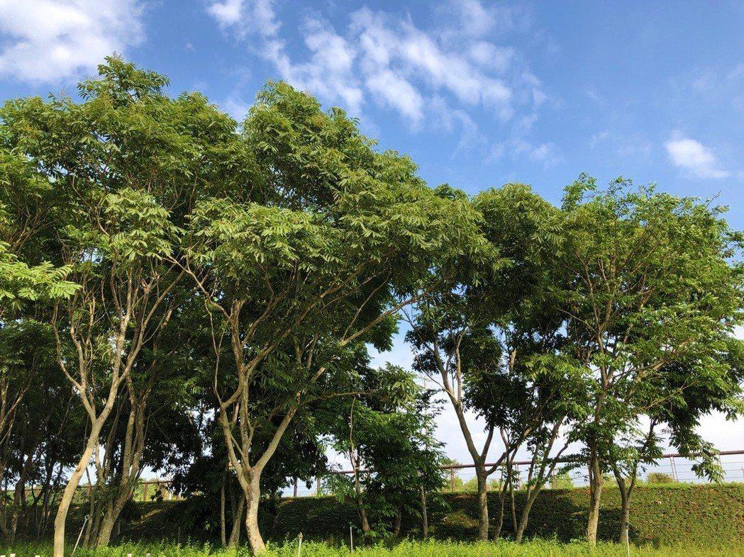 台中花博外埔園區生長著無患子樹林,樹林春夏之際綠葉成蔭,秋天搖身一變成美麗橘黃色...