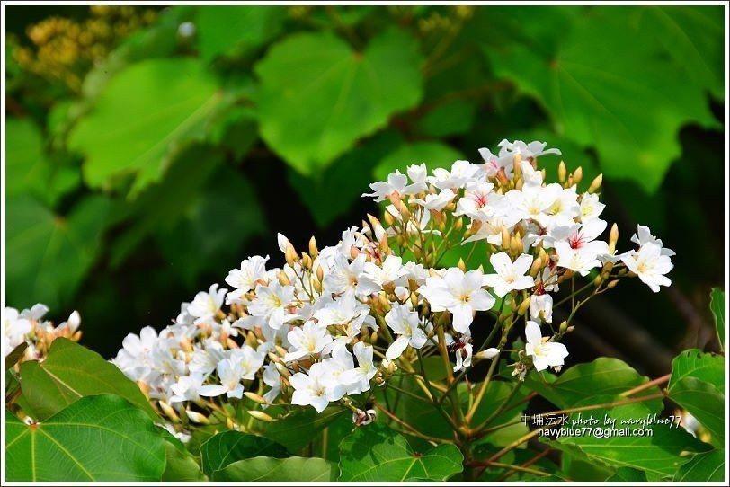 ↑四月上旬鹿角埤步道旁的桐花正盛開。