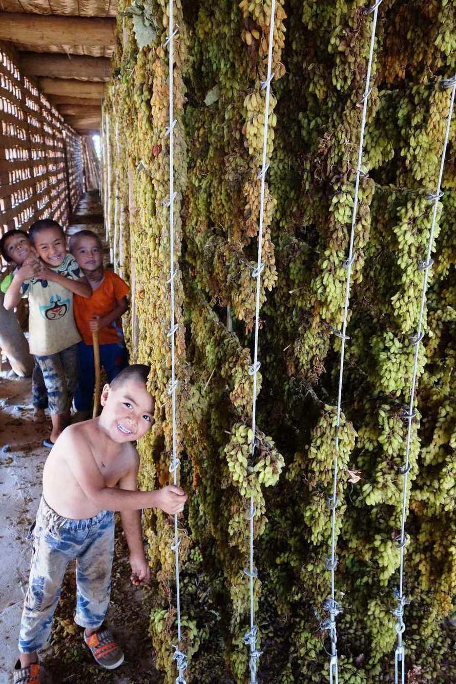 由於葡萄收穫與保鮮期短,每當夏季葡萄盛產,農民便將葡萄懸掛於晾房中,經熱風烘乾,...