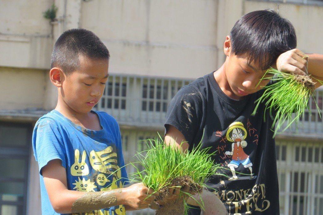 台中市外埔區馬鳴國小承租校園旁荒廢的農地,教學生自己種水稻,從插秧到收割、碾米都...