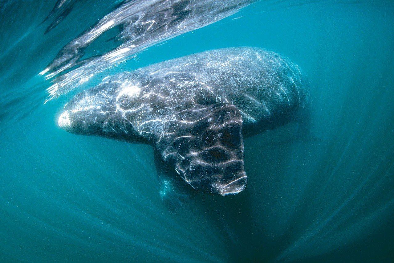 經過種種考驗拍攝到的南方露脊鯨。