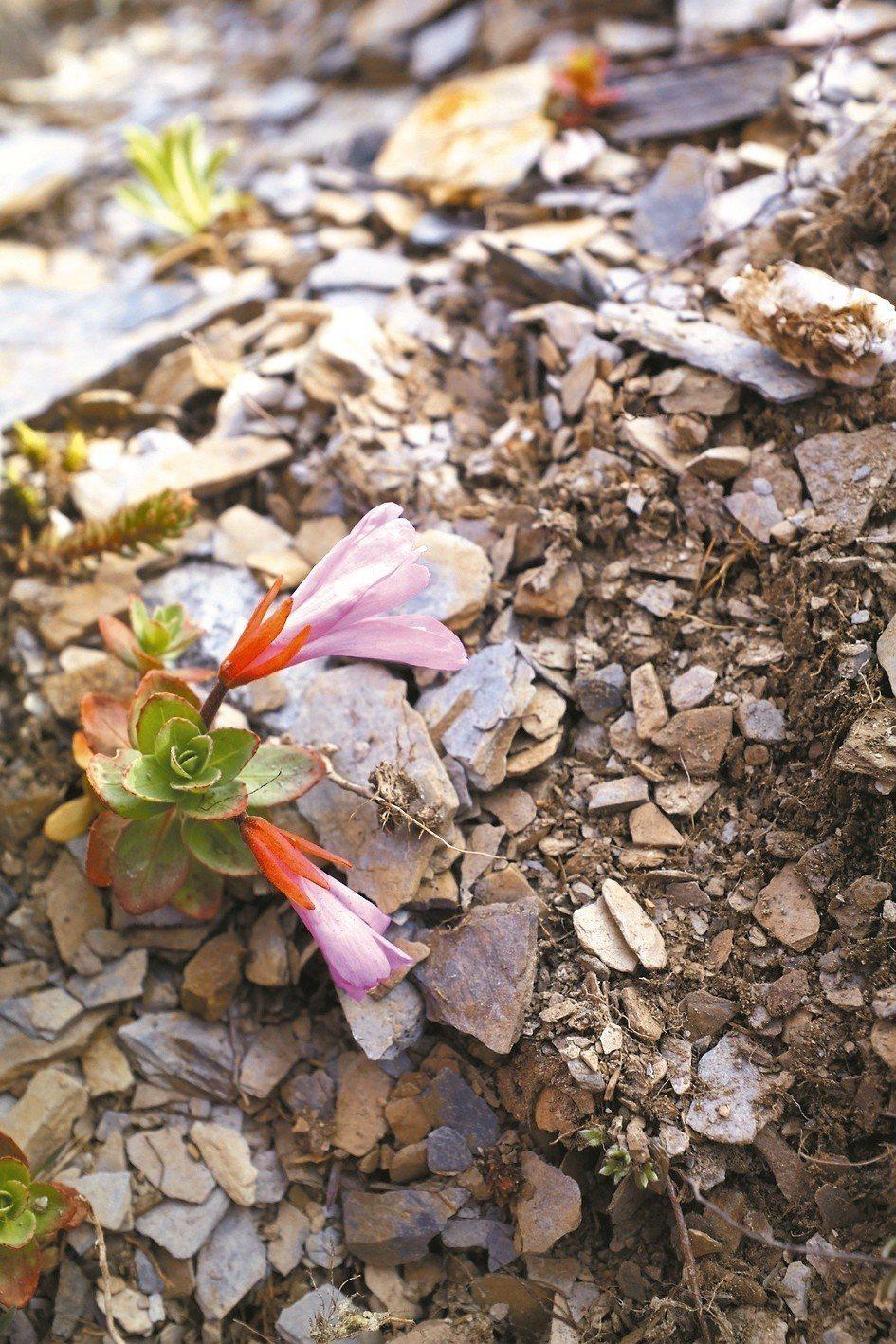 是南湖寒原地帶具代表性的草本植物。