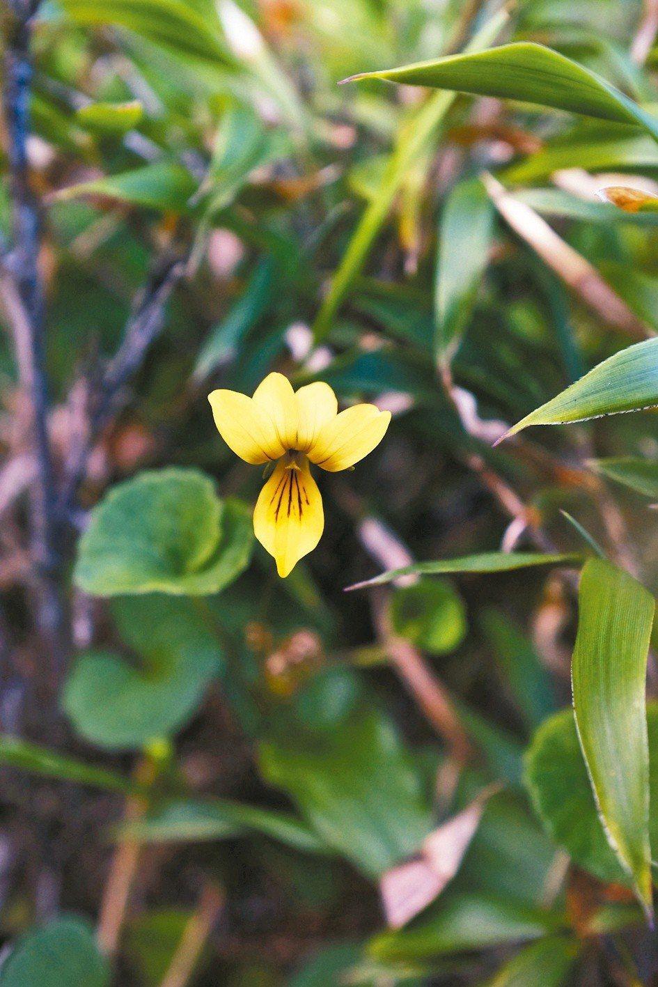 雙黃花菫菜,是台灣菫菜科中唯一穿著黃衣裙的一種。