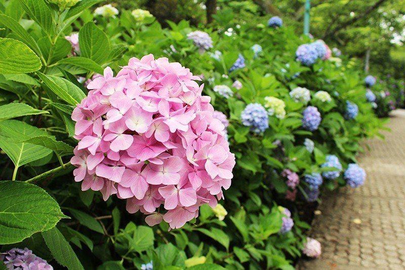 紫陽花是福井市花。
