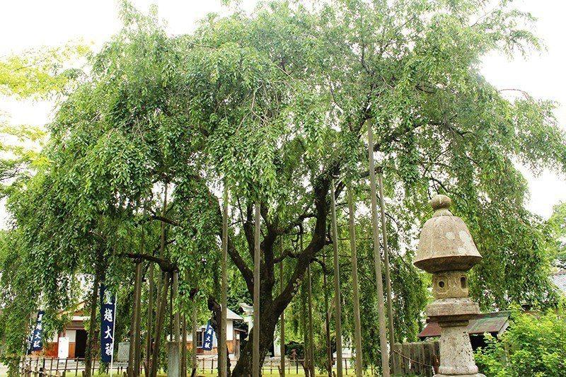 神社內樹齡已經360歲的枝垂櫻。