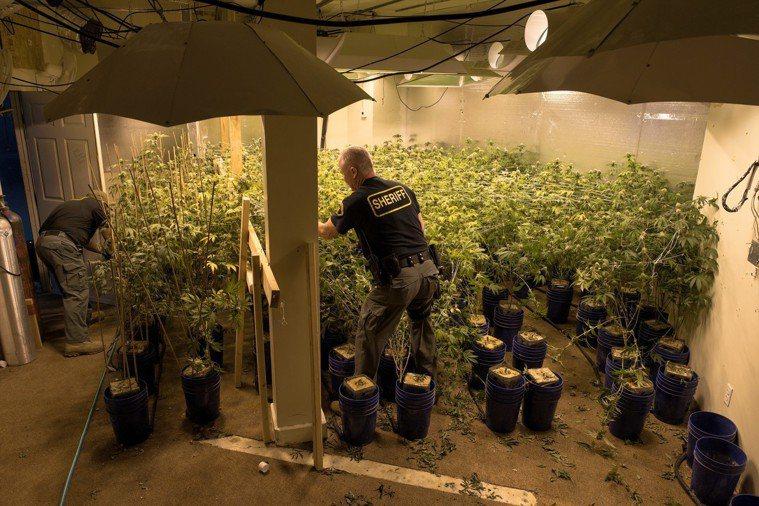 美國聯邦表示不干預各州大麻法律 南加大麻業者支持。