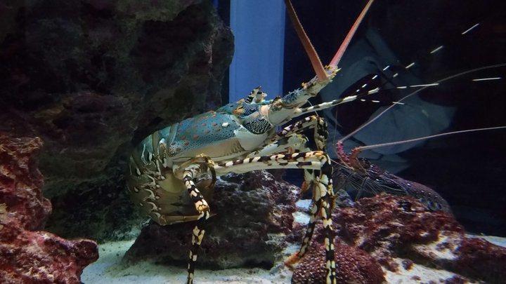 沖繩美麗海水族館-大龍蝦。 圖/背包客棧