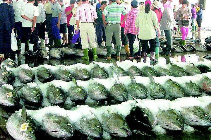 每年4到7月是鮪魚季,漁民期待大豐收。 圖/聯合報系資料照片