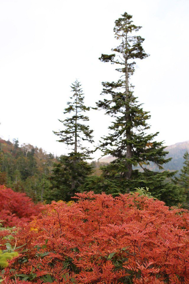▲各種階調的紅黃色豐富了整個山林。(Cliff 攝)