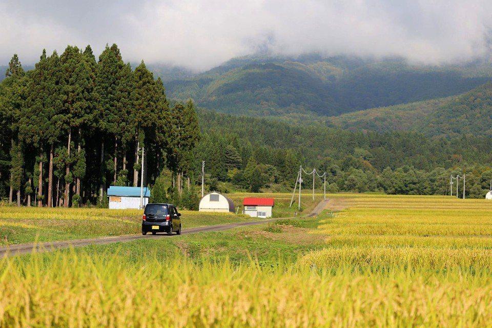 ▲秋天等待豐收的越光米。(Cliff 攝)