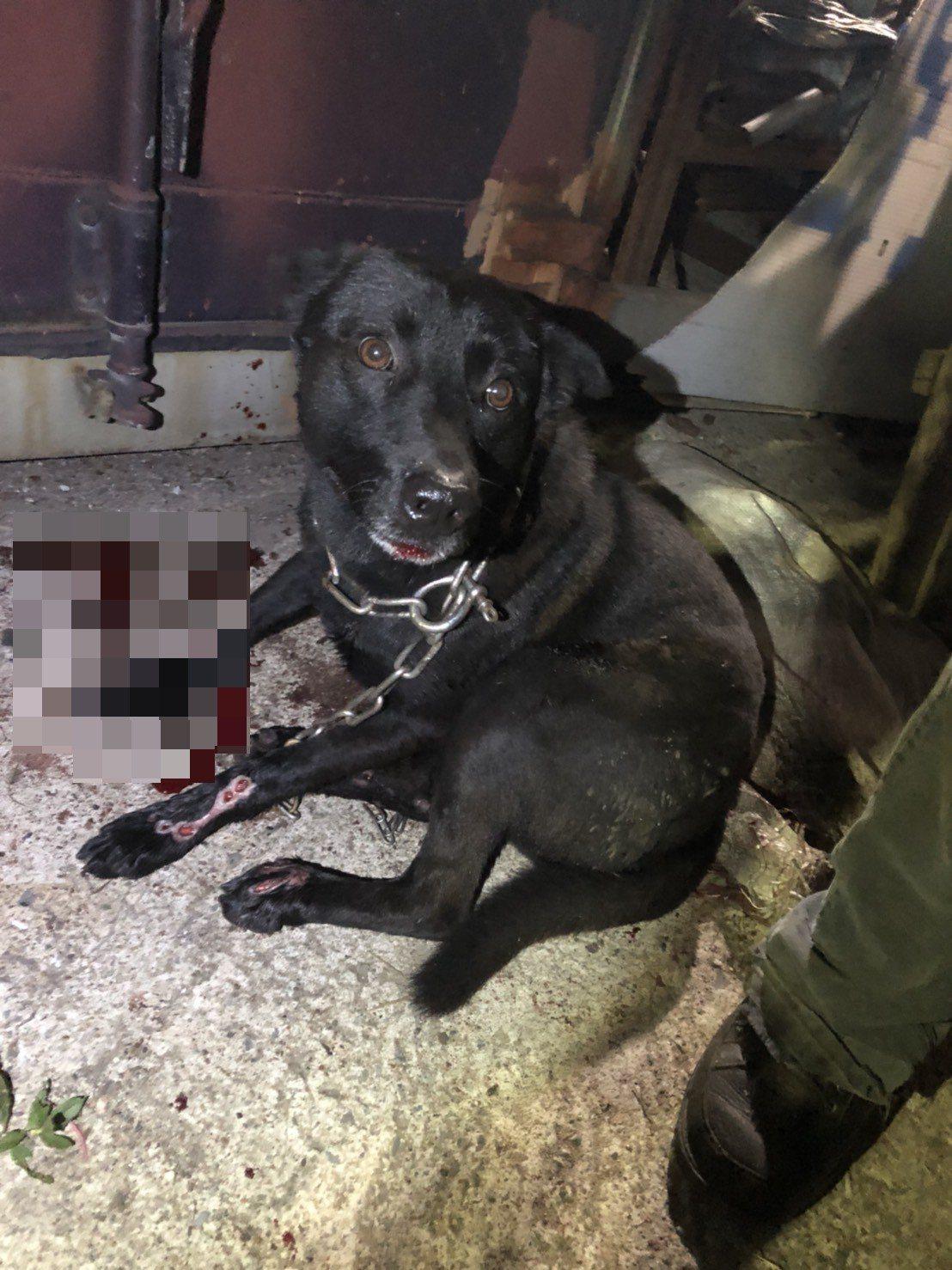 基隆動保所前往了解後,發現黑狗四肢全部受傷流血,要求立即送醫,否則重罰。圖/動保...