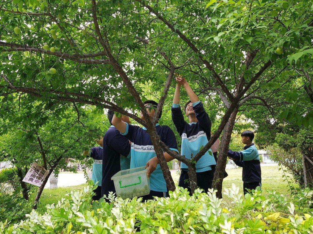 大德國中校內種梅樹,學生採梅探索課程。圖/大德國中提供