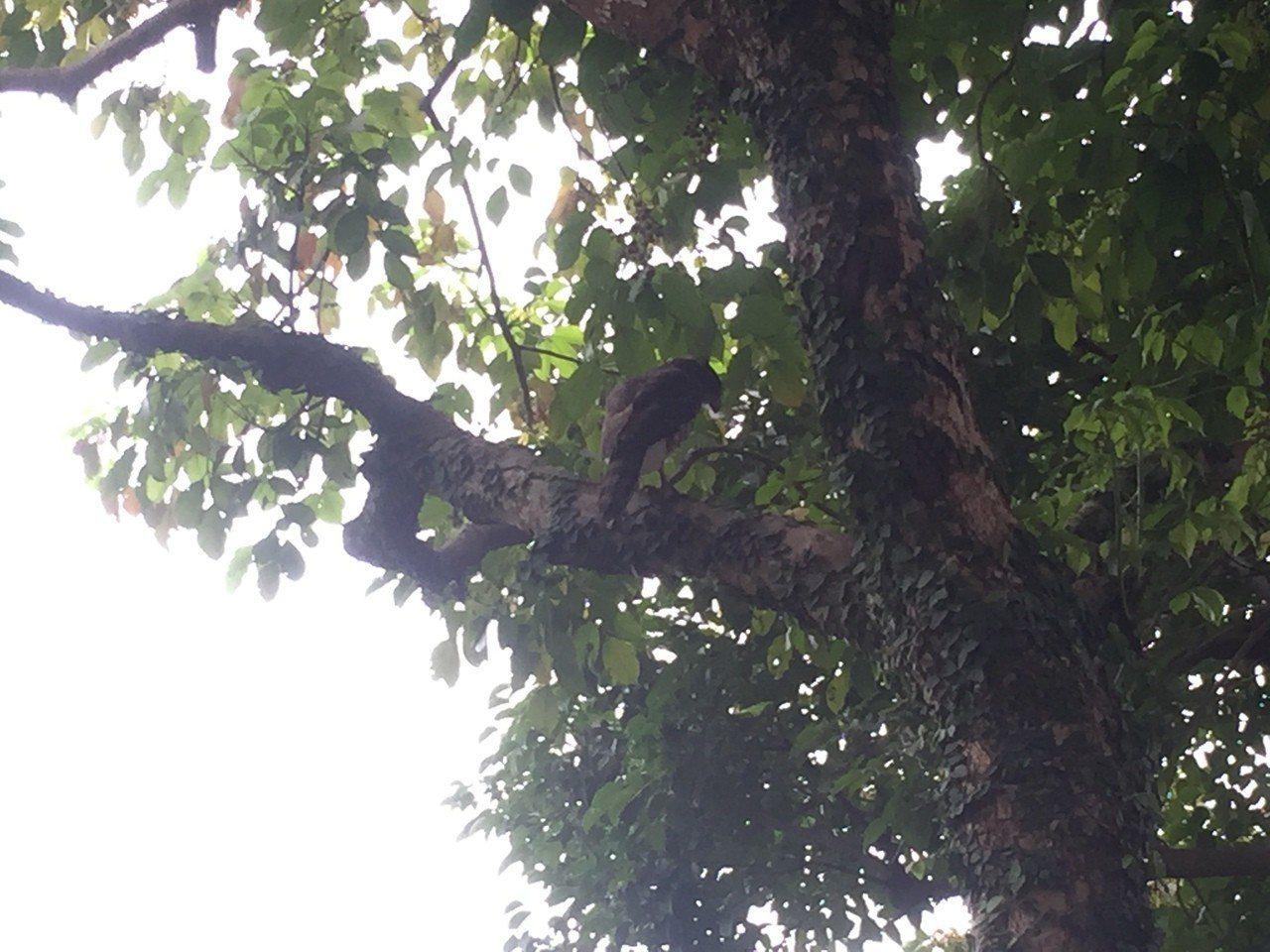 有民眾也發現二級保育鳥類鳳頭蒼鷹出沒。圖/新北市動保處提供