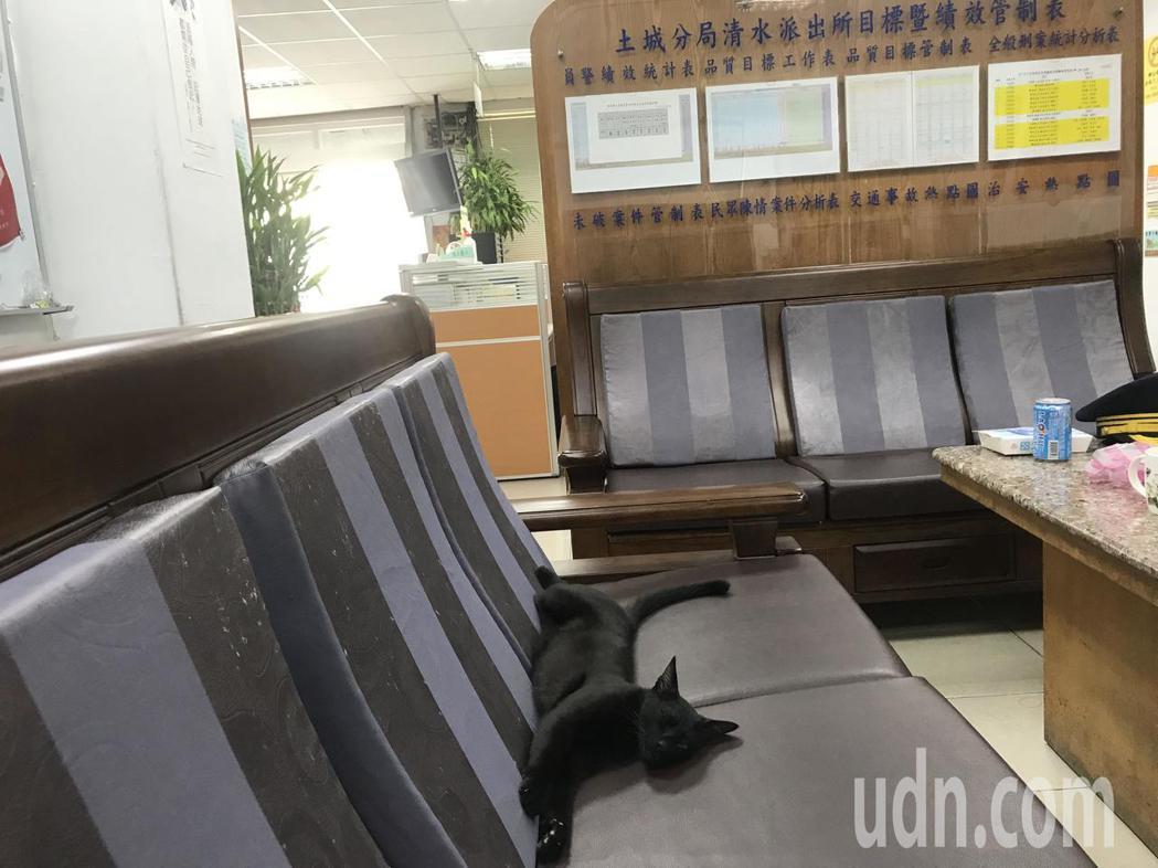 土城警分局清水派出所所貓「喵喵」。記者袁志豪/攝影