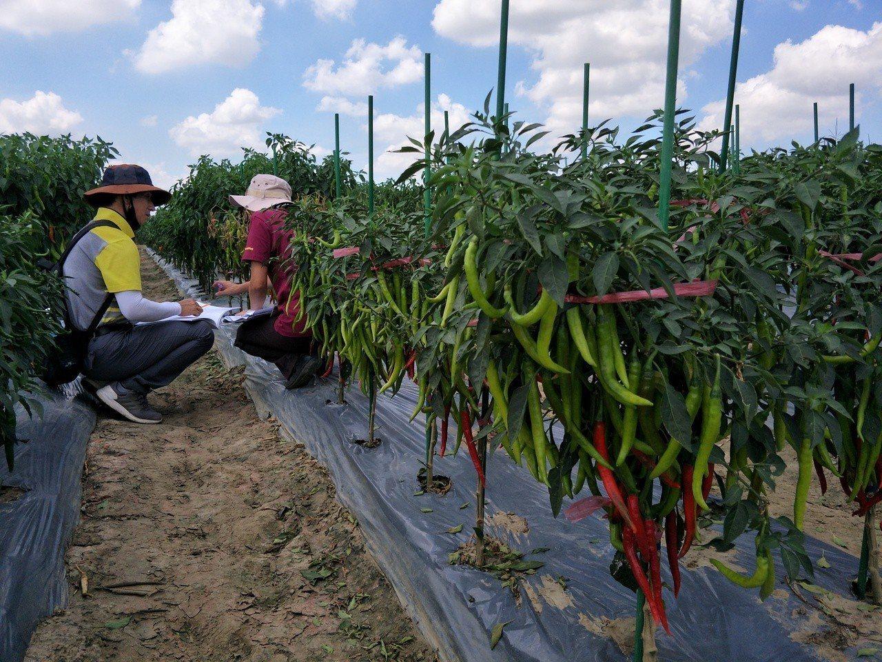 亞蔬-世界蔬菜中心辦田間觀摩,吸引來自各國人員與會。記者謝進盛/攝影