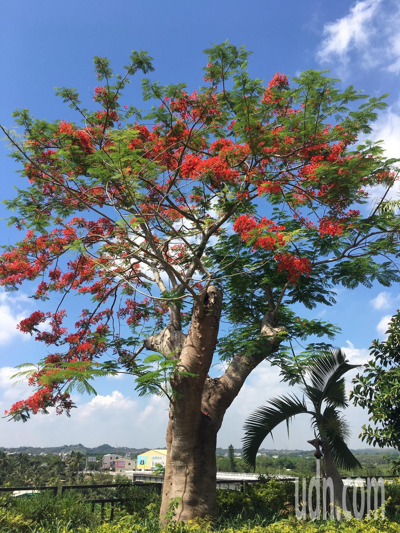 台南市玉井警分局後方停車場的鳳凰木,又稱「莫拉克樹」,當年被連根拔起,如今奇蹟重...