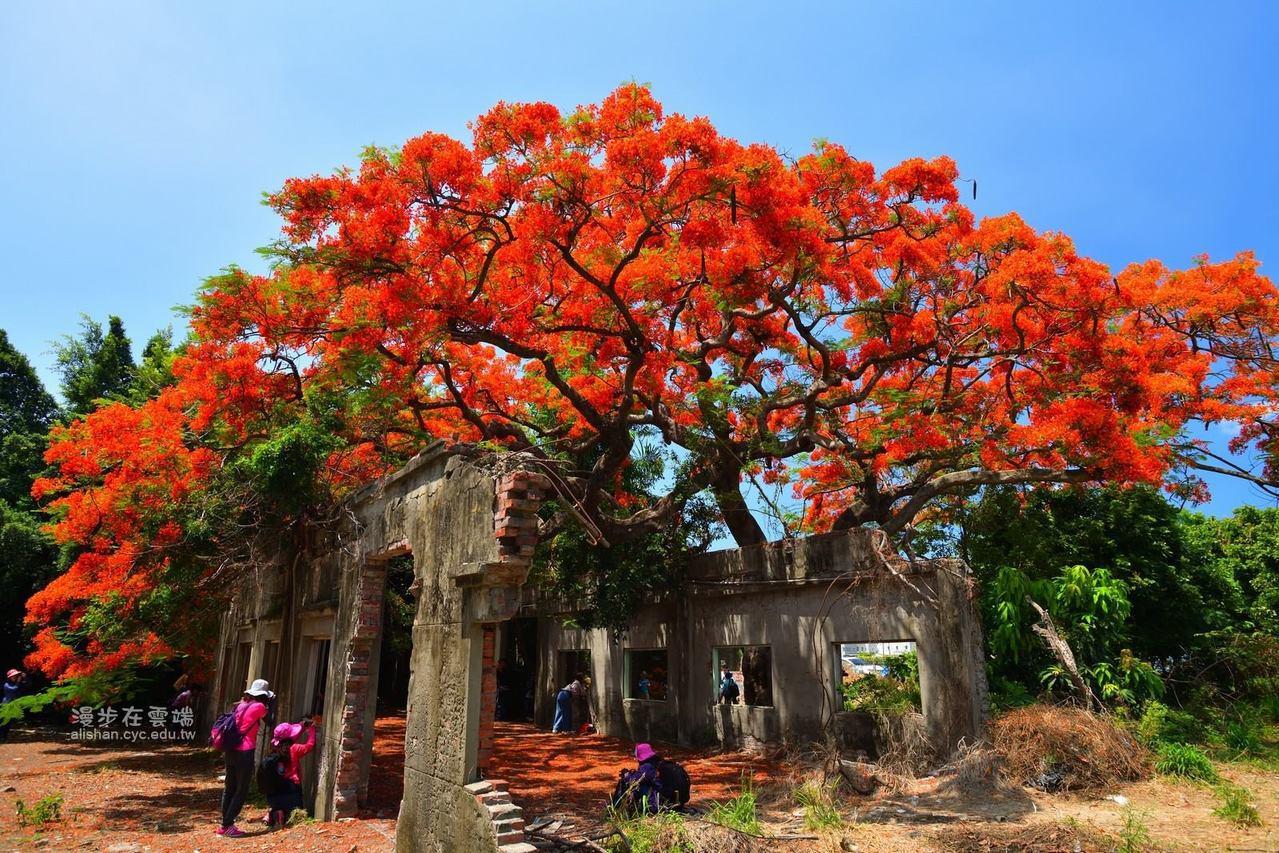 柑仔蜜會社的百年鳳凰木正盛開,吸引許多旅客前來。圖/漫步在雲端的阿里山粉絲團授權...