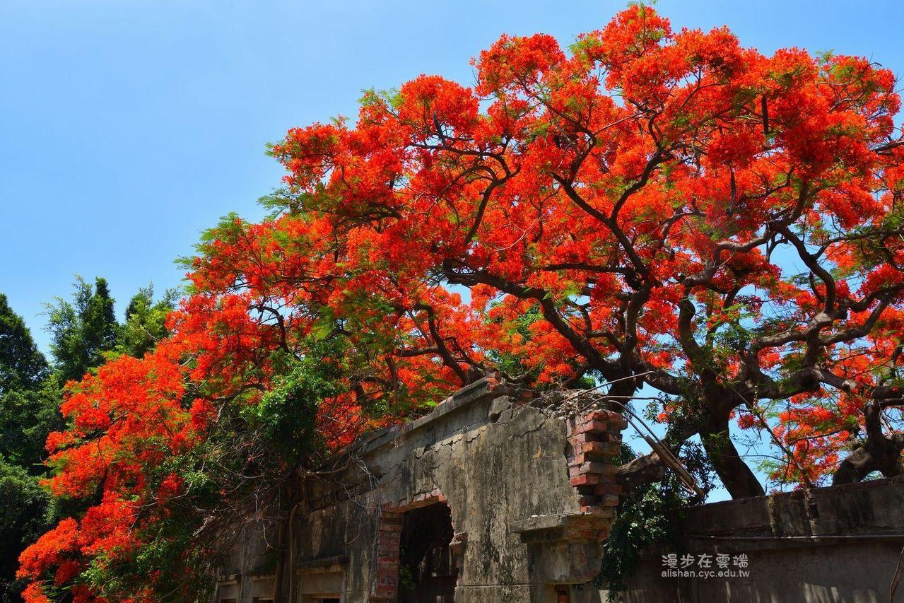 豔紅的鳳凰花朵配上藍天,十分相襯。圖/漫步在雲端的阿里山粉絲團授權使用