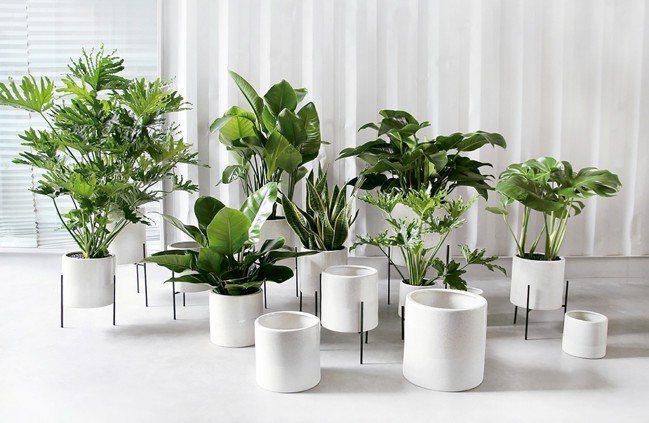 室內的居家空間也可以運用不同高度的盆栽與綠樹做搭配。 圖/滿峯園、CNFlowe...
